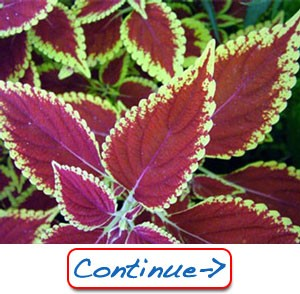 Natural Forskolin Extract
